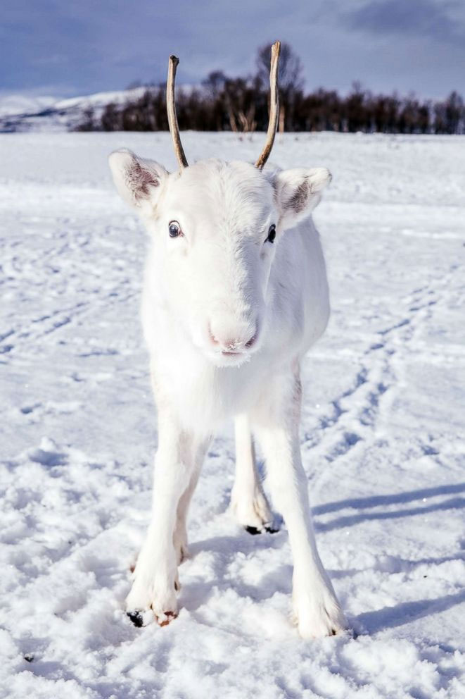 Rare White reindeer spotted in Norway - an Omen? Mads Nordsveen / Instagram