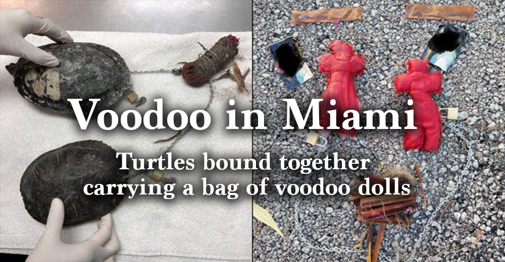 Voodoo in Miami - Turtles bound together carrying a bag of voodoo dolls