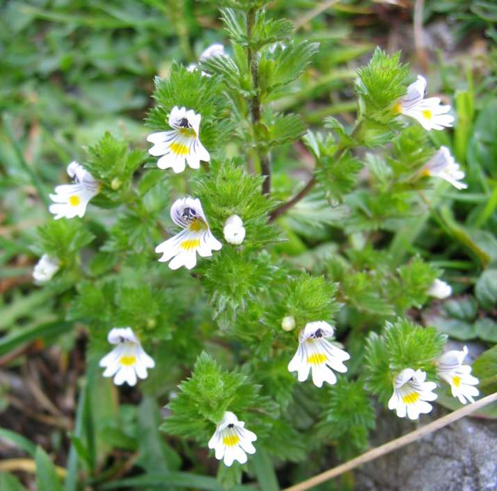 Euphrasia, eyebright